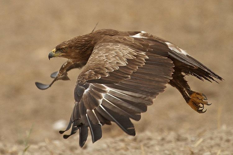 上图:小乌雕(Lesser spotted eagle)是以色列常见的一种鹰。以色列位于欧亚大陆与非洲大陆之间鸟类迁徙的主要路线上,每年有三十多种鹰经过这里。古代以色列人对鹰非常熟悉,圣经中经常出现鹰的比喻。