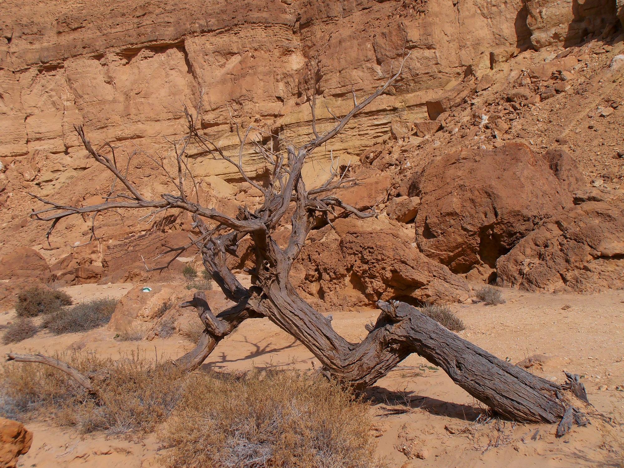 上图:南地旷野中枯干的皂荚木。