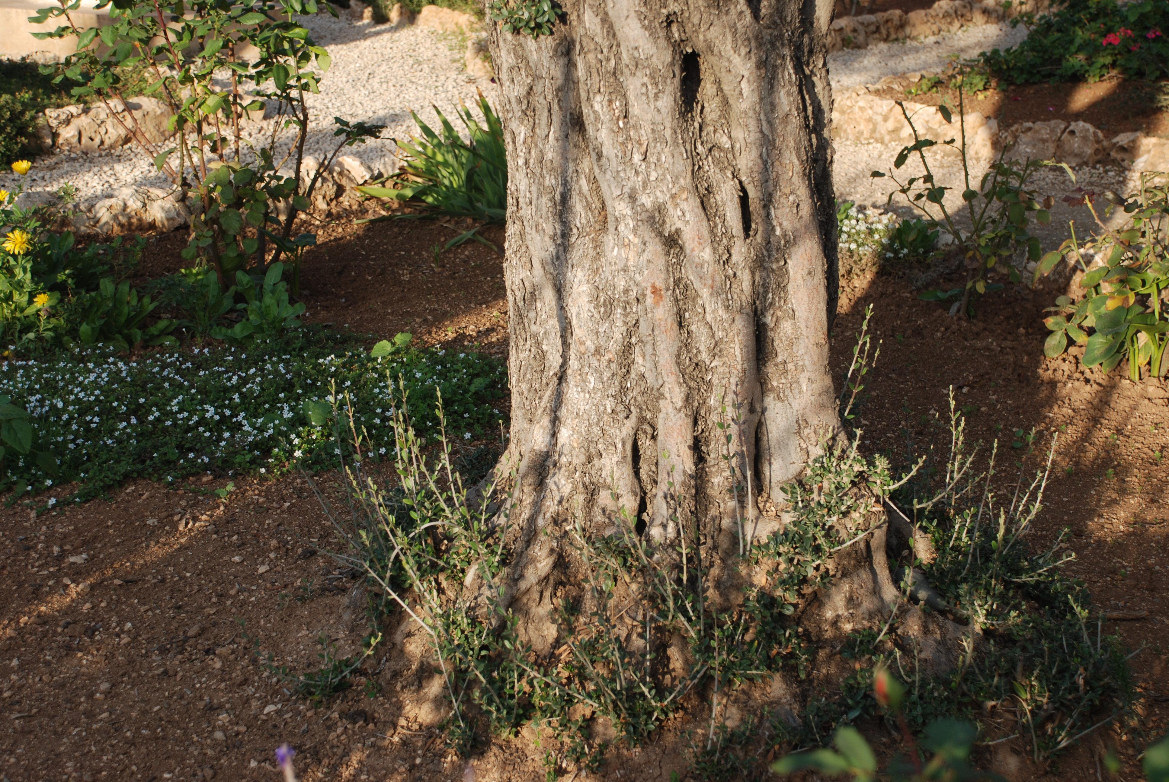 上图:客西马尼园古老的橄榄树根部所发出的橄榄栽子。橄榄树的生命力很强,几百、上千年的橄榄树,根部也能发出嫩枝。