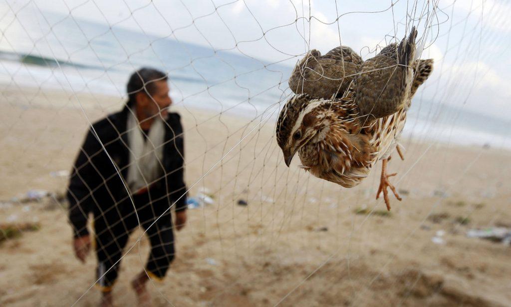 上图:一位巴勒斯坦人在加沙的Khan Yunis海滩上用网捕杀鹌鹑。猎人们在海岸线上竖立了数百米的黄色丝网,捕获迁徙的鹌鹑。这些候鸟于9月开始抵达地中海沿岸。