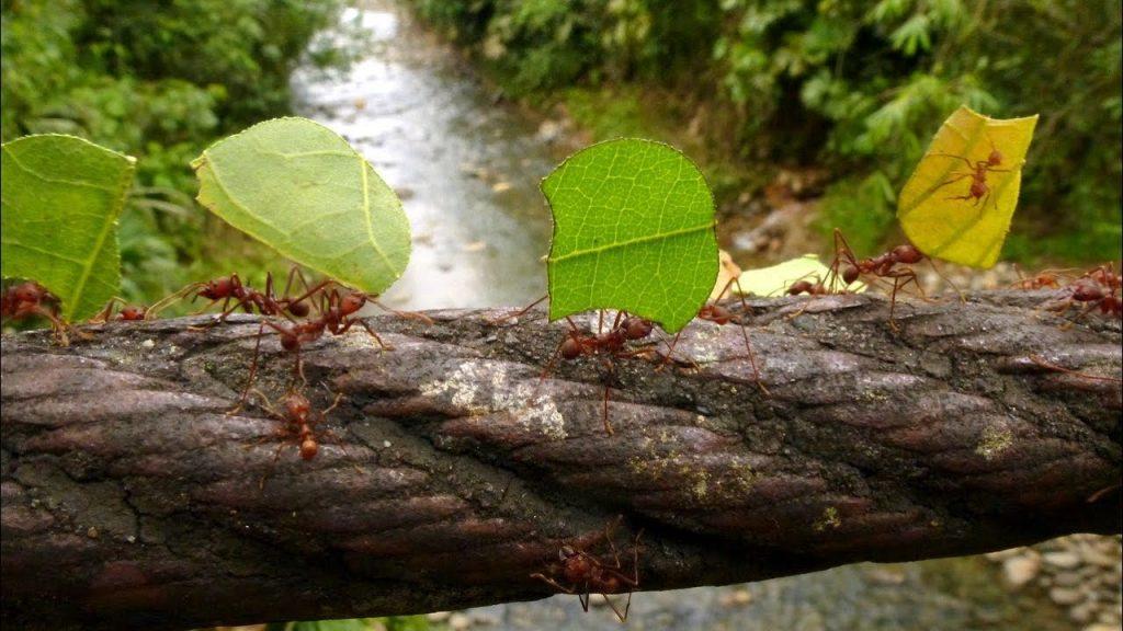 上图:一队蚂蚁正在收集树叶作食物。蚂蚁是一种真社会性的昆虫,工蚁负责外出觅食,能扛起比自己重许多倍的东西。蚂蚁可以透过信息素(pheromone)沟通。一个蚂蚁如果发现了食物,就会在回家的路上留下一路的气味,其他的蚂蚁可以沿着这条气味路线去找食物,并不断地留下气味加强。如果这里的食物被采集完了,没有蚂蚁再来,气味就会逐渐消散。如果一只蚂蚁被碾碎,就会散发出强烈的警戒信息素,警告其他的蚂蚁。蚂蚁透过一对触角辨识气味,既能辨别气味的强度,也能辨识气味来源的方向距离。