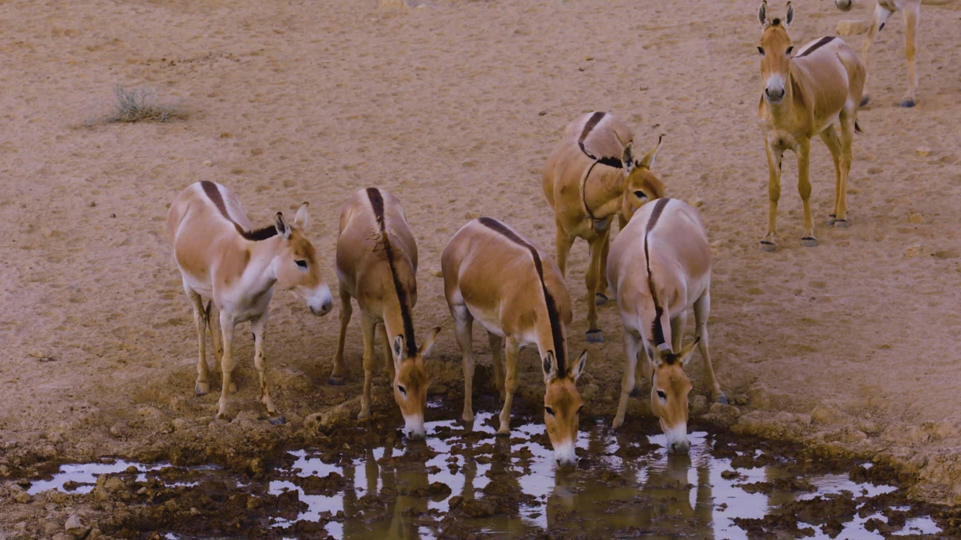 上图:以色列的亚洲野驴(Onager or Asiatic wild ass),从未被驯化过,时速可高达70公里。