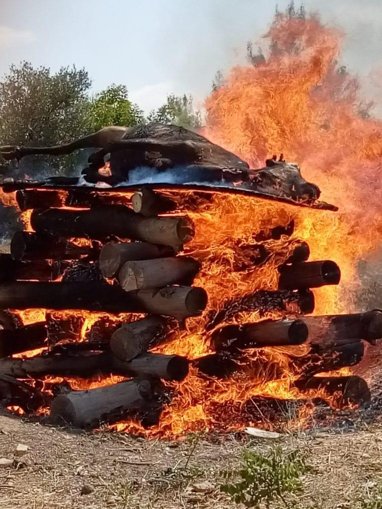 上图:为了预备制作红母牛灰,2019年8月,以色列圣殿研究所按照古代的方法实际焚烧了一只成熟的母牛,并发布了研究结果。这个实验使用了1.4吨松树、橡树和无花果树的木头做成的柴堆,以及古代常见的巴拉迪(Baladi)品种母牛。燃烧了大约九个小时后,产生了66公斤灰烬,其中母牛骨灰大约11公斤,制作成的洁净水可以洒6600亿次。研究报告指出,燃烧红母牛最好的木材是无花果树,容易点燃、灰烬细腻,几乎不需要筛滤。目前,圣殿研究所负责监督寻找红母牛的拉比阿扎里亚·阿里尔(Rabbi Azariah Ariel)指出,他们正在观察两只红色小母牛,如果2021年3月年满两岁零一天后没有出现瑕疵,就可以用来制作红母牛灰。