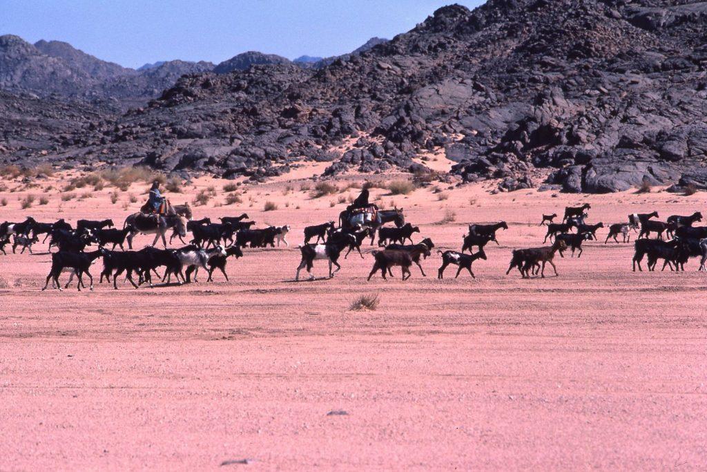 上图:贝都因人在牧放山羊,大部分山羊都是黑色的。