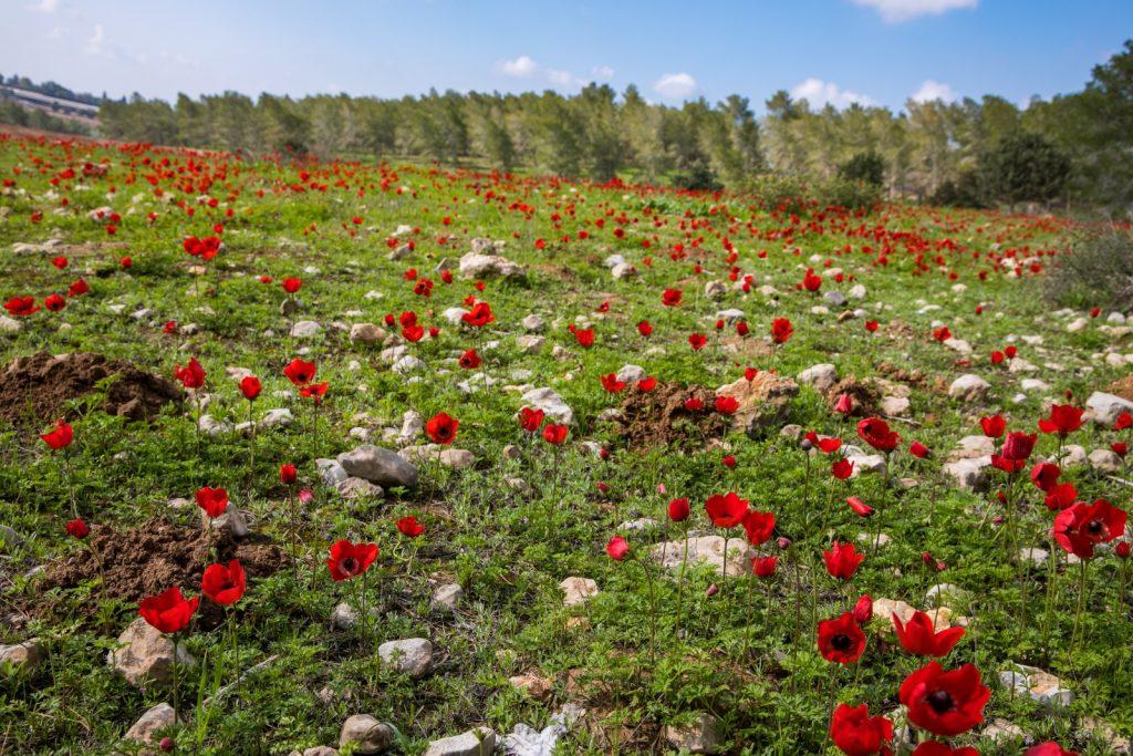 上图:以色列南方Kibbutz Dvir野外春天盛开的一种红色百合花,可以帮助我们想象「百合花中吃草的一对小鹿」(歌四5)的意境。摄于2020年2月。