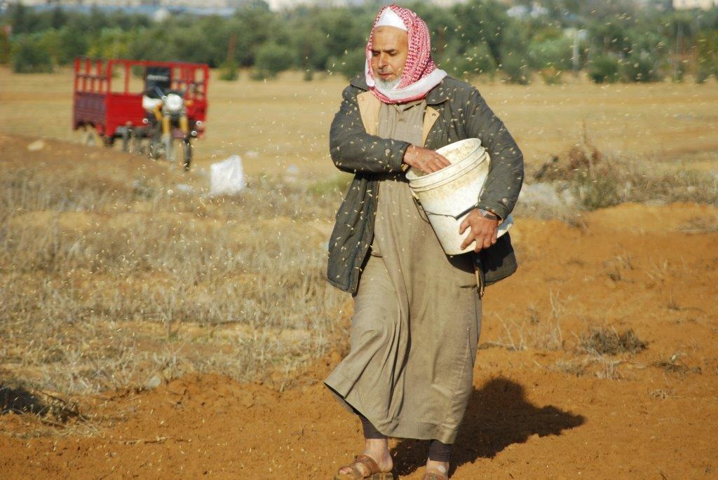 上图:加沙地带的巴勒斯坦农夫在撒种。