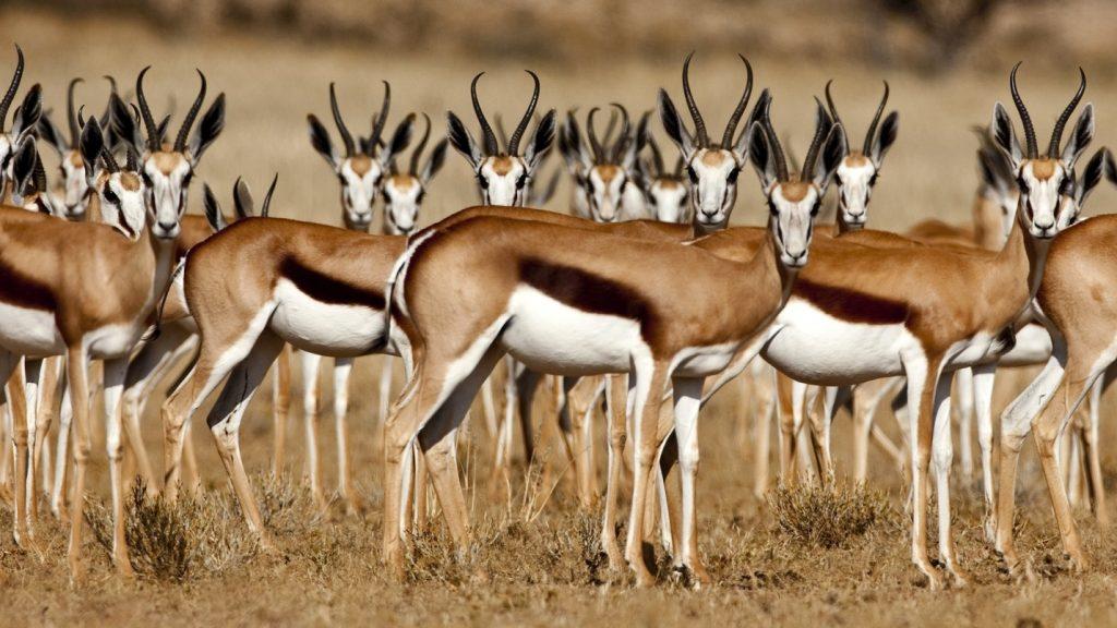 上图:以色列瞪羚(Israeli gazelle)是以色列的国家动物(National Animal of Israel),也被称为山区瞪羚,属于羚羊亚种,以色列瞪羚以嫩草和树皮为食,身材苗条,脖子长,后腿比前腿长。