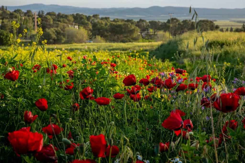 上图:以色列北方Kibbutz Yifat野外春天盛开的一种红色百合花,可以帮助我们想象「他在百合花中牧放群羊」(歌六3)的场面。摄于2019年4月。