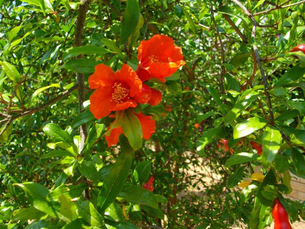 上图:开花的石榴树。以色列的石榴树在阳历四-六月间开花。