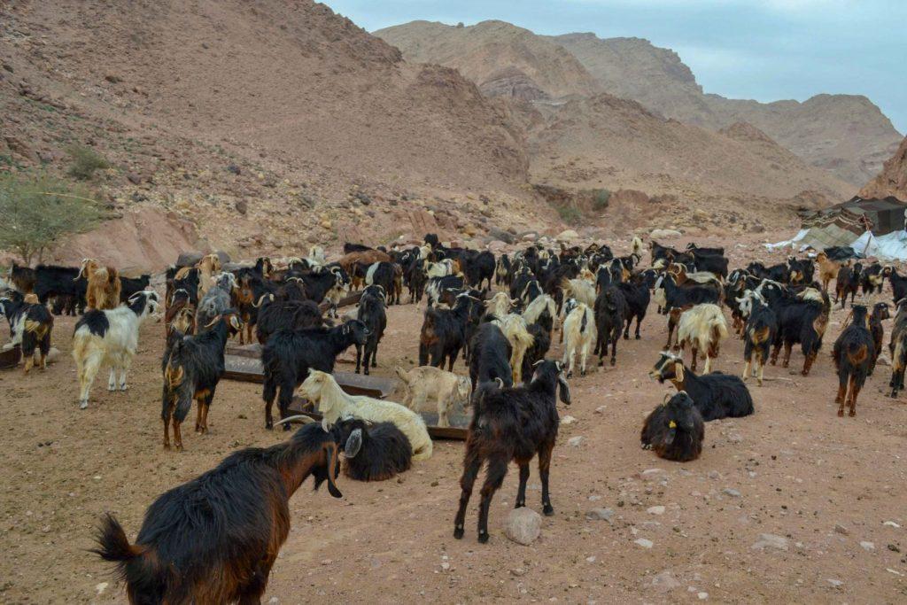 上图:贝都因人的山羊,大部分山羊都是黑色的。