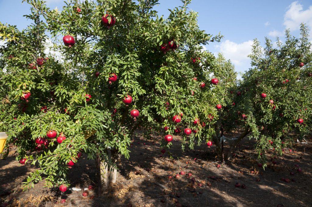 上图:以色列的石榴树。