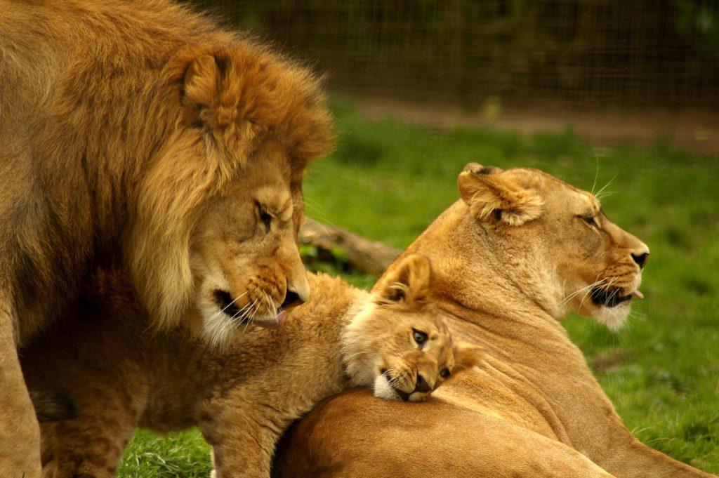 上图:箴言三十一篇10-31节所描绘的才德的妇人,是一个母狮子的形象。妻子是母狮子,丈夫才能成为坐在城门口的公狮子,孩子才能成长为小狮子:「她的儿女起来称她有福;她的丈夫也称赞她」(箴三十一28)。