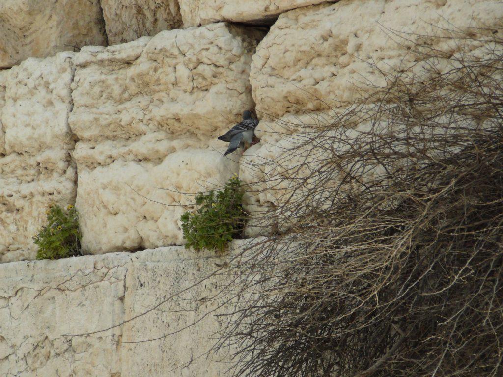 上图:一只在耶路撒冷西墙石缝中筑巢的岩鸽。岩鸽(Rock dove)又被称为原鸽,是野生的崖栖性鸽子。