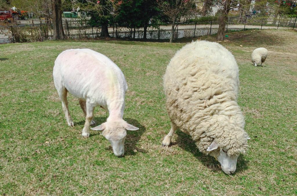 上图:左边是剪过羊毛的绵羊,右边是还没剪羊毛的绵羊。剪过羊毛的绵羊非常白,所以雅歌形容「你的牙齿如新剪毛的一群母羊,洗净上来」(歌四2;六6)。