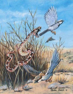 上图:剧毒的锯鳞蛇(saw-scale viper)会跳起来攻击,被咬中后伤口灼痛,可能就是「火焰的飞龙」(赛三十6)。西奈半岛和以色列的旷野里都生活着彩锯鳞蝰(Echis coloratus)。