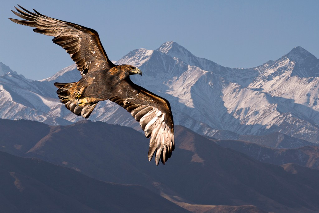 上图:一只展翅上腾的金鹰(Golden eagle)。鹰在高空盘旋,通常都在晴朗的白天,地面将大量的空气加热上升,使鹰可以利用上升气流轻松飞翔,并不需要自己煽翅。鹰的翅膀很宽,尾成扇形。飞行时主要飞羽全部撒开;羽毛之间的深缝可以防备狂风,在山峡的不稳定气流中保持飞行稳定。信徒的信心正如这双巨大有力的翅膀,使「他们必如鹰展翅上腾;他们奔跑却不困倦,行走却不疲乏」(赛四十31)。