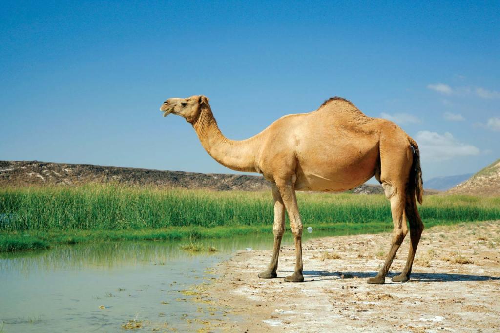 上图:独峰驼或单峰骆驼(Dromedary)产于非洲北部、亚洲西部与南部,又称阿拉伯骆驼(Arabian camel)。单峰骆驼的背上仅有一个骆峰,比双峰骆驼更高、更快。但双峰骆驼更强壮、耐久力更强,更适合穿越沙漠。