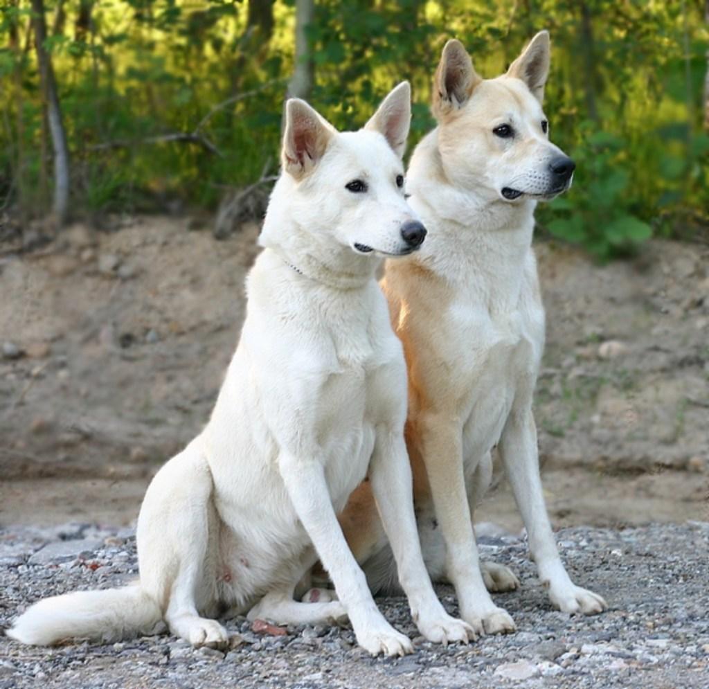 上图:迦南犬(Canaan dog)是古代迦南的原始犬种,被古希伯来人用来保护营地和放牧羊群。以色列人被掳后,不得不把它们撇在野外,偶尔成为贝都因人和德鲁兹部落的护卫犬。1930年代,以色列国防军的前身哈格纳(Haganah)开始重新驯养从野外捕获的迦南犬。1963年,迦南犬被以色列确认为国犬。