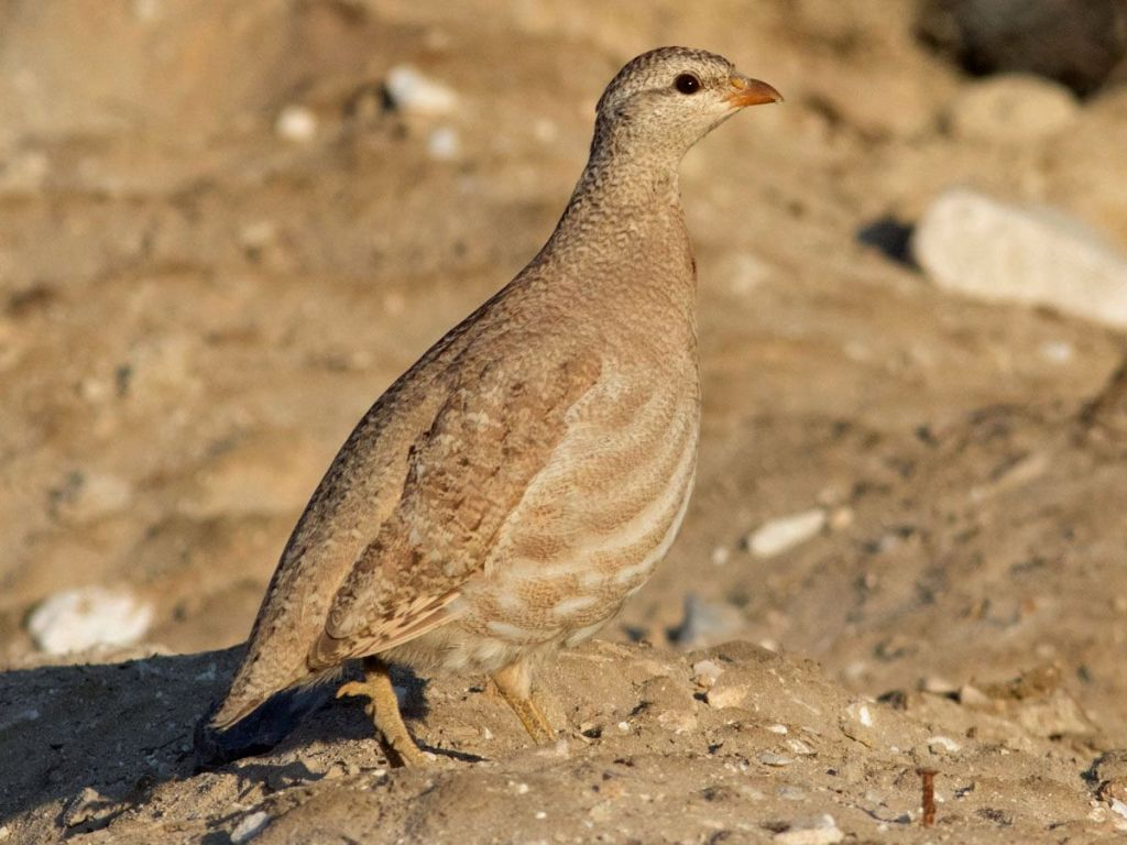 上图:以色列的沙鹧鸪(Sand partridge),主要分布在埃及、以色列和阿拉伯半岛。这种鸟在干燥的开阔地一次产下5-7枚卵,孵化过程中容易受到其它野兽的干扰。