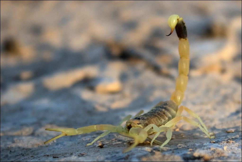 上图:生活在以色列南地沙漠中的以色列黄蝎(Leiurus hebraeus, the Hebrew deathstalker), 也被称为死亡猎手(deathstalker),是蝎子中最危险的一,被刺后非常痛苦。