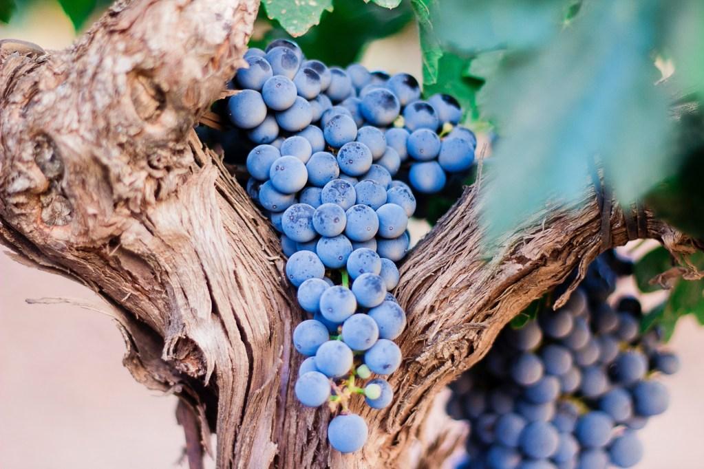 上图:葡萄树和葡萄。葡萄是木质藤本植物,木料并不适合制造器具。如果葡萄树不能结出葡萄,木料本身并没有多大价值,只能被用来当柴烧。